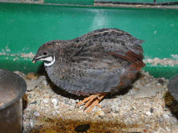 Blue-breasted button quail