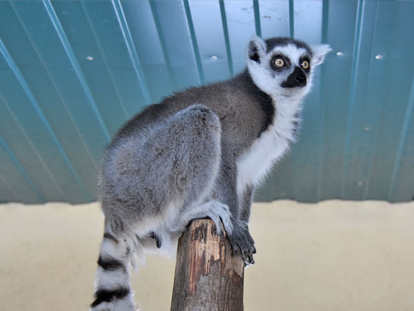 photo Lemur catta / Ring-tailed lemur