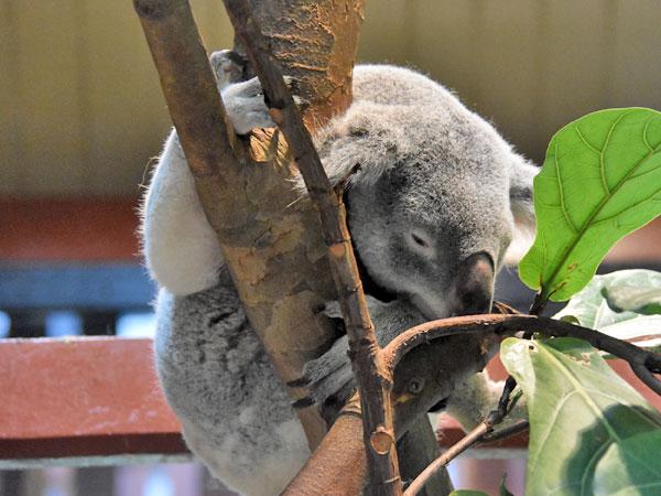 Phascolarctos cinereus adustus / Queensland koala in zoos