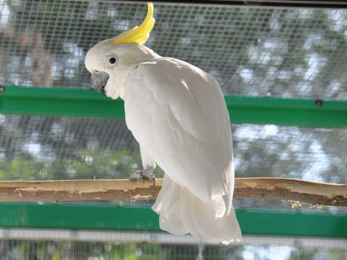 photo Lesser sulphur-crested cockatoo / <span class='cursive'>Cacatua sulphurea</span>