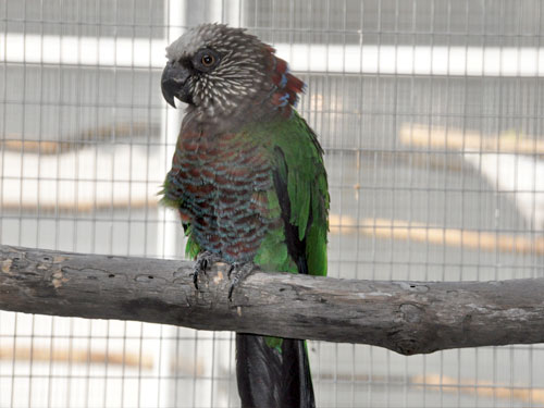 photo Hawk-headed parrot / <span class='cursive'>Deroptyus accipitrinus accipitrinus</span>