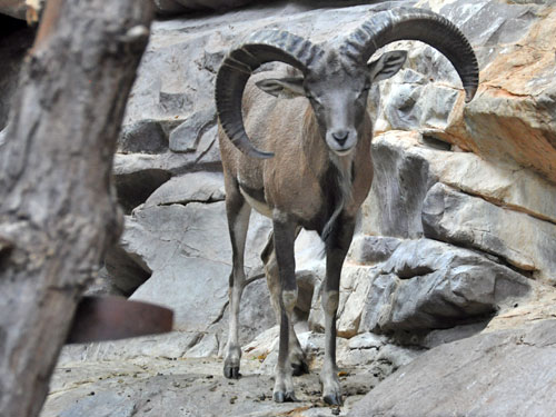 Arkal urial sheep