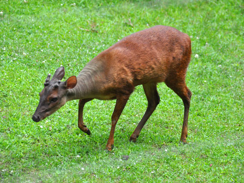 Central American red brocket