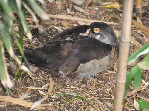 North American wood duck