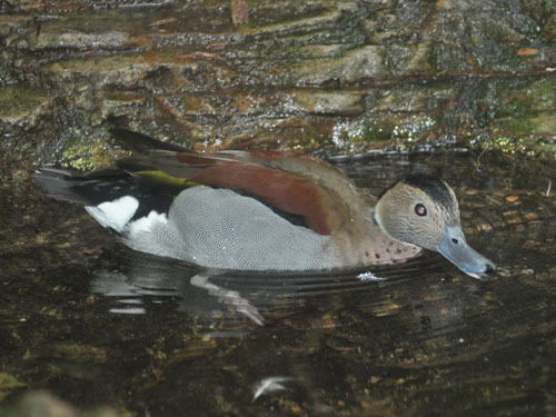 photo Ringed teal / <span class='cursive'>Callonetta leucophrys</span>