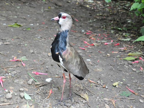Chilean lapwing