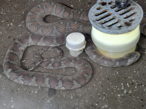 Brown-banded water snake