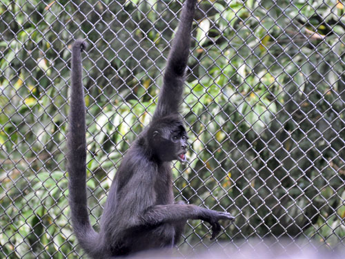 photo Brown-headed spider monkey / <span class='cursive'>Ateles fusciceps</span>