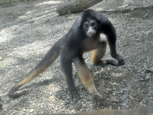 White-fronted spider monkey