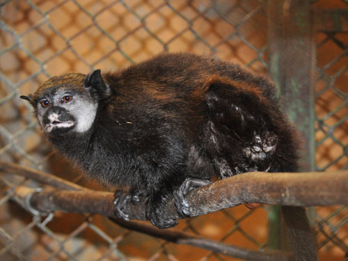 Mottle-faced tamarin
