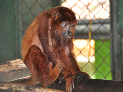 Red howler