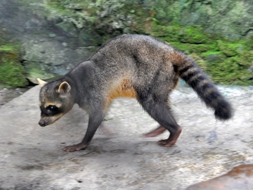 photo Procyon cancrivorus / Crab-eating raccoon