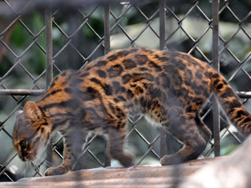 photo Tiger cat / <span class='cursive'>Leopardus tigrinus pardinoides</span>