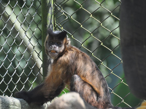 Large-headed capuchin
