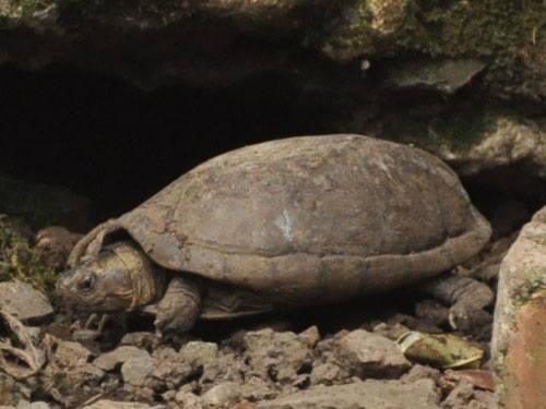 White-lipped mud turtle