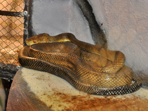 photo <span class='cursive'>Corallus hortulanus</span> / Garden tree boa