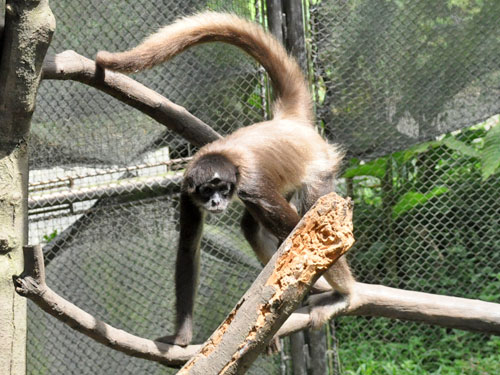 Brown spider monkey
