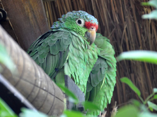 Salvin's red-lored amazon