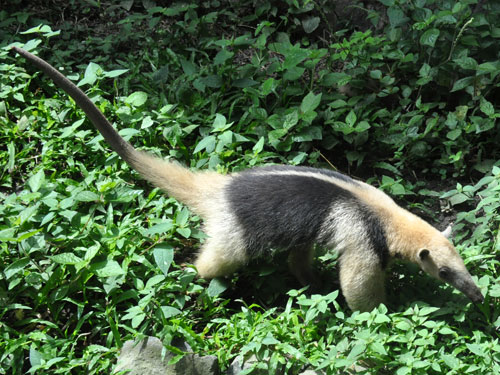 photo Northern tamandua / <span class='cursive'>Tamandua mexicana</span>