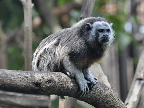 photo White-footed tamarin / <span class='cursive'>Saguinus leucopus</span>