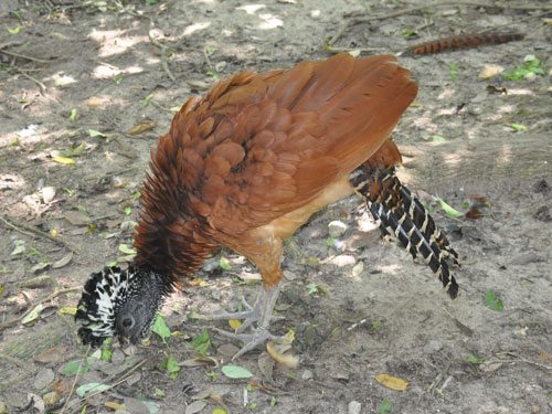 photo Great curassow / <span class='cursive'>Crax rubra</span>