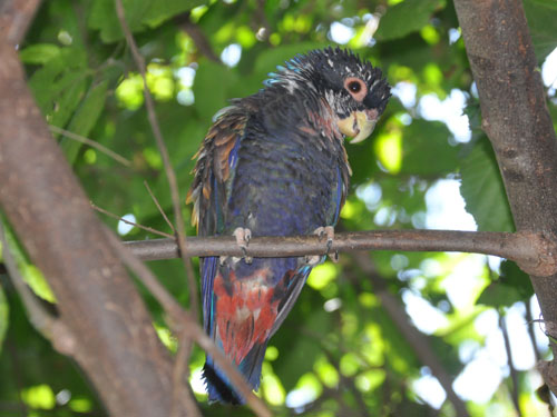 photo Bronze-winged parrot / <span class='cursive'>Pionus chalcopterus</span>