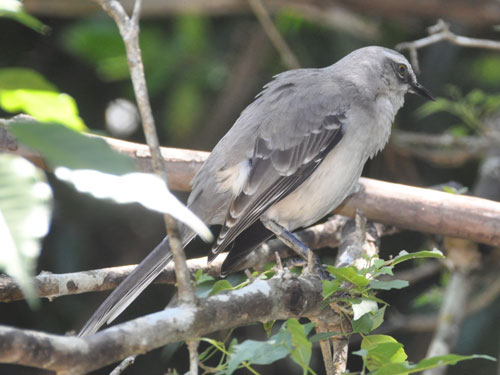 photo Tropical mockingbird / <span class='cursive'>Mimus gilvus melanoptrus</span>