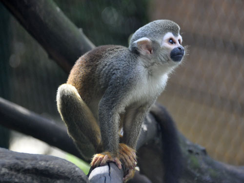 photo Common squirrel monkey / <span class='cursive'>Saimiri sciureus albigena</span>