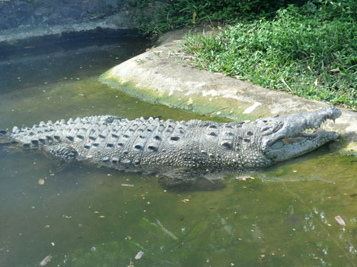 photo American crocodile / <span class='cursive'>Crocodylus acutus</span>
