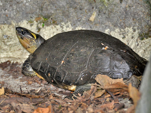photo Colombian wood turtle / <span class='cursive'>Rhinoclemmys melanosterna</span>