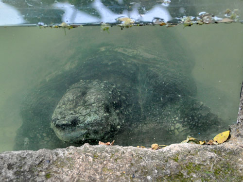 photo South American snapping turtle / <span class='cursive'>Chelydra acutirostris</span>