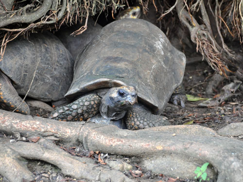 photo South American yellow-footed tortoise / <span class='cursive'>Chelonoidis denticulata</span>