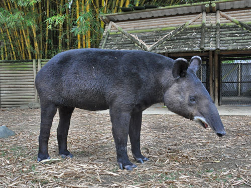 Mountain/woolly tapir