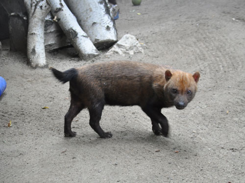 photo Bush dog / <span class='cursive'>Speothos venaticus</span>