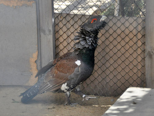 photo Capercaillie / <span class='cursive'>Tetrao urogallus</span>