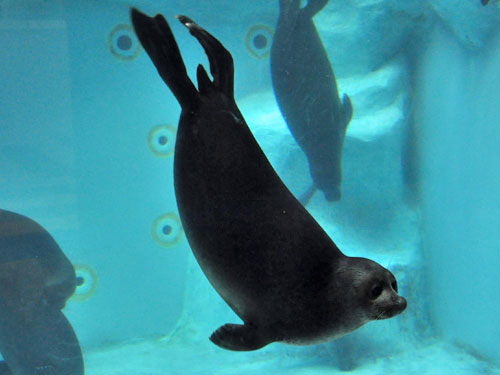 photo Baikal seal / <span class='cursive'>Pusa sibirica</span>