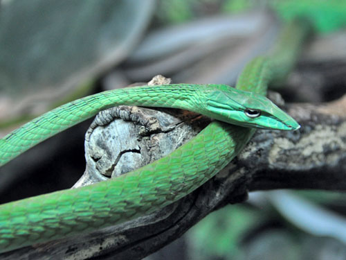 Short-nosed vine snake