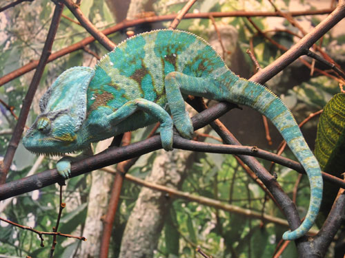 photo Veiled chameleon / <span class='cursive'>Chamaeleo calyptratus</span>