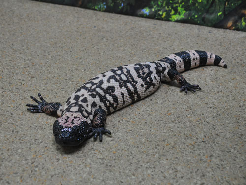 photo Banded gila monster / <span class='cursive'>Heloderma suspectum cinctum</span>