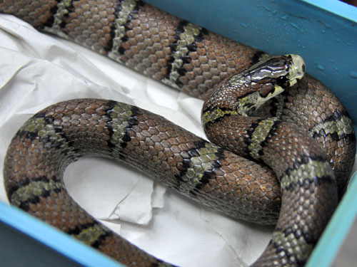 Bella rat snake
