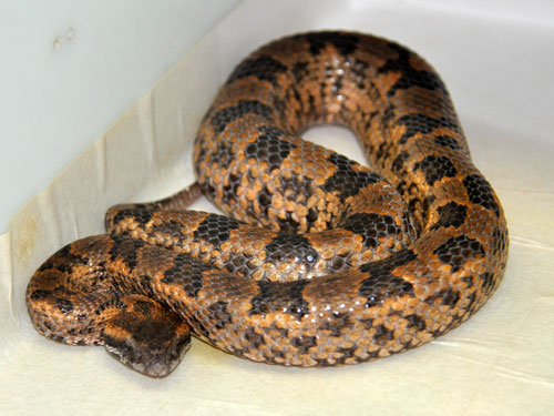 Mountain pitviper
