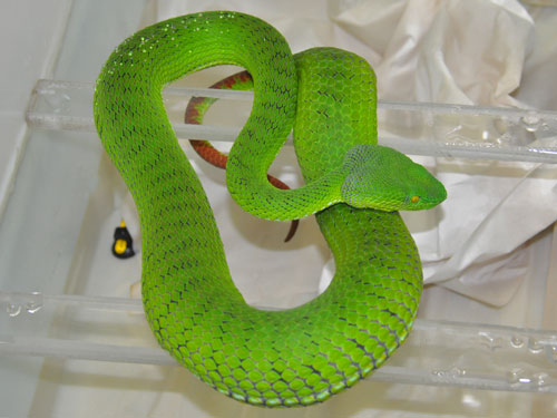 photo Trimeresurus stejnegeri / Bamboo viper