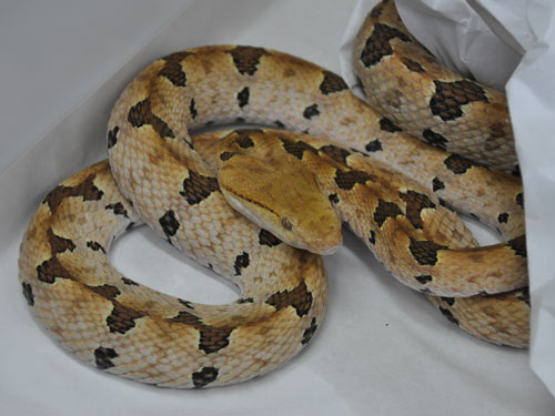 photo Brown spotted pitviper / <span class='cursive'>Protobothrops mucrosquamatus</span>