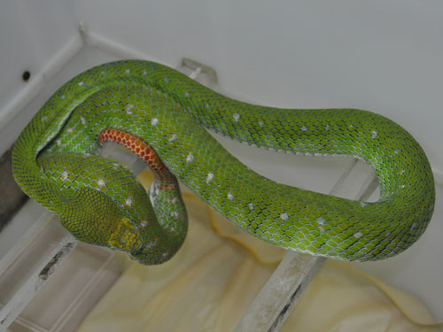 photo Hagen's pitviper / <span class='cursive'>Trimeresurus hageni</span>