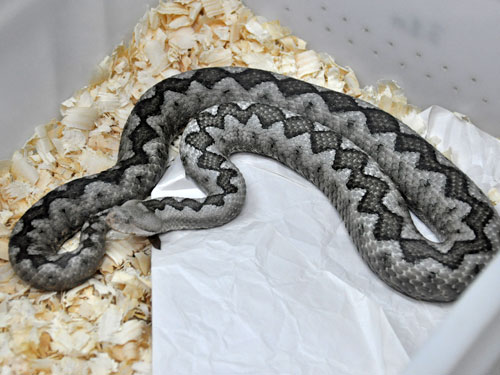 photo Long-nosed viper / <span class='cursive'>Vipera ammodytes ammodytes</span>