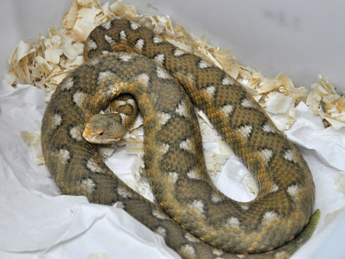 Eastern long-nosed viper