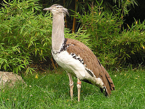 photo Kori bustard / <span class='cursive'>Ardeotis kori</span>