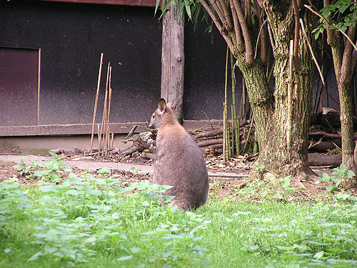 photo Macropus rufogriseus / Red-necked wallaby