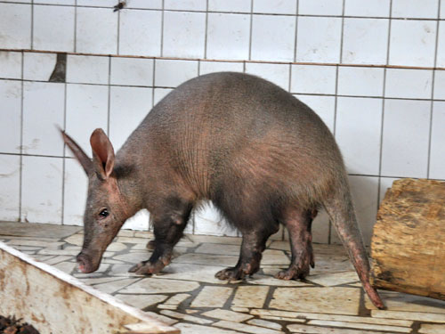 photo Aardvark / <span class='cursive'>Orycteropus afer</span>