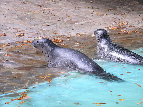 photo Harbor seal / <span class='cursive'>Phoca vitulina</span>